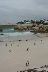 Природа. Капские пингвины на пляже Саймонстауна.