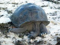 Природа. Гигантская черепаха.