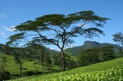 Природа. Нувара-Элия - чайные плантации.